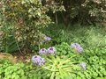 Blue and purple flowers garden planted by the creek looks like fireworks next to a rose bush the oriental plums Stock Photography