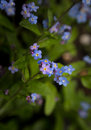 Blue and purple forget-me-nots