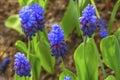 Blue Purple Grape Hyacinths  F...