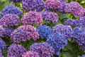 Blue and purple hortensia flowers background with Royalty Free Stock Photography