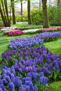 Blue and purple hyacinth flowers at spring garden keukenhof netherlands in Stock Images