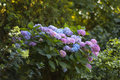 Blue and purple hydrangea flowers hortensia in the shady part of the garden Royalty Free Stock Photos