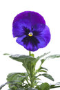 Blue purple pansy isolated over white Royalty Free Stock Photo