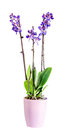 Blue with purple pistils branch orchid flowers orchidaceae phalaenopsis known as the moth orchid violet vase white background Stock Photography