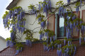 Blue rain wisteria climbs the house along Royalty Free Stock Photo