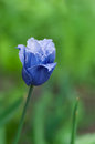 Blue rare tulip against green background shallow dof Royalty Free Stock Photography