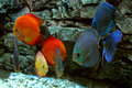 Blue and red fishes in aquarium Stock Photo