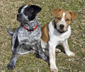 Blue and Red Heeler Pups. Stock Image