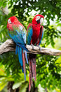 Blue and red macaw ara ararauna sitting on log Stock Photo