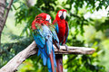 Blue and red macaw ara ararauna sitting on log Royalty Free Stock Image