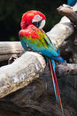 Blue and red macaw ara ararauna sitting on log Royalty Free Stock Photos