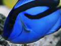 Blue regal tang paracanthurus hepatus Stock Images