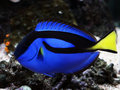Blue regal tang paracanthurus hepatus Royalty Free Stock Photography