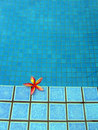 Blue resort swimming pool & red tropical flower Royalty Free Stock Photo
