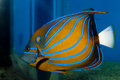 Blue Ring Angelfish (Pomacanthus annularis) Royalty Free Stock Photo