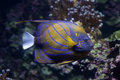 Blue ring angelfish (Pomacanthus annularis). Royalty Free Stock Photo