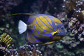 Blue ring angelfish Pomacanthus annularis. Royalty Free Stock Photo