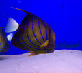 Blue ringed angelfish underwater background a against deep water and ocean floor sand copy space in the image for your use Royalty Free Stock Photos