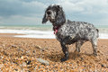 Blue roan cocker spaniel digs a hole on beach pebble Stock Photo