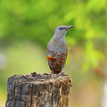 Blue rock thrush beautiful bird male monticola solitarius standing on the log in mating plumage breast profile Royalty Free Stock Photo