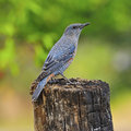 Blue rock thrush beautiful bird male monticola solitarius standing on the in mating plumage back profile Royalty Free Stock Photography