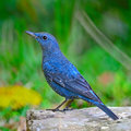 Blue rock thrush bird monticola solitarius standing on the log Stock Images