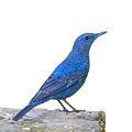 Blue rock thrush bird monticola solitarius standing on the log isolated on a white background Stock Photo