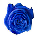 Blue rose. Stock Photo