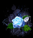 Blue rose Royalty Free Stock Photos