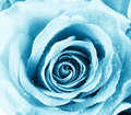 Blue rose Royalty Free Stock Images