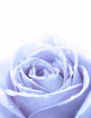Blue rose closeup with water drops Stock Photo