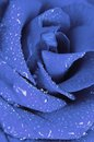 Blue rose in drops of water Royalty Free Stock Photo