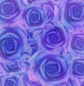 Blue rose flowers closeup of for holiday background Royalty Free Stock Images