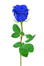 Blue rose isolated on white background Royalty Free Stock Images