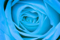Blue rose petals close up background of beautiful Stock Photography