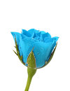 Blue Rose With Water Droplets ...