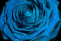 Blue rose with water drops on petals Royalty Free Stock Image
