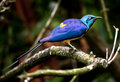 Blue Royal Starling Bird Royalty Free Stock Photo
