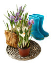 Blue rubber gumboots and crocuses, Royalty Free Stock Photo