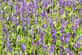 Blue salvia flower meadow with blooming herbal flowers Stock Photos