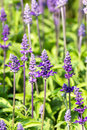 Blue salvia flower meadow with blooming herbal flowers Stock Image