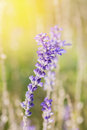 Blue Salvia Flower With Sun Li...