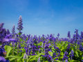 Blue salvia plant beautiful growing in a cottage garden Stock Photo