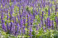 Blue salvia plant meadow with blooming herbal flowers is in the mint family Stock Photo
