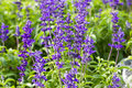 Blue salvia plant meadow with blooming herbal flowers is in the mint family Stock Photos