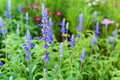Blue salvia purple flowers ornamental plants spring Royalty Free Stock Image