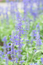 Blue salvia purple flowers ornamental plants spring Stock Images