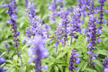 Blue salvia purple flowers, ornamental plants spring and bee fly Royalty Free Stock Photo