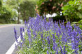 Blue salvia on roadside with soft fogus Royalty Free Stock Photos
