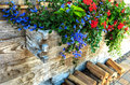 Blue Scaevola and Red trailing geranium in wooden window box